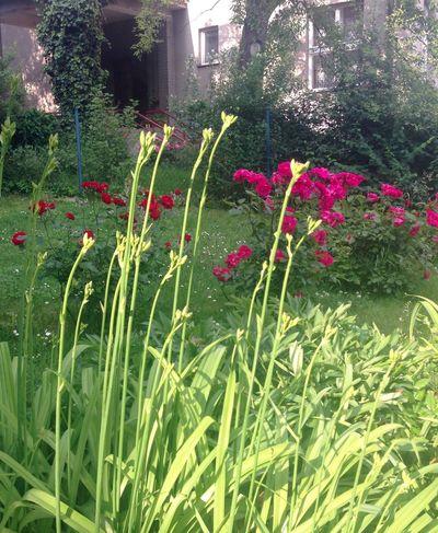 Plants green garden City garden Roses Different Plants My Garden Dark Pink Garden Photography Plant Pink And Green