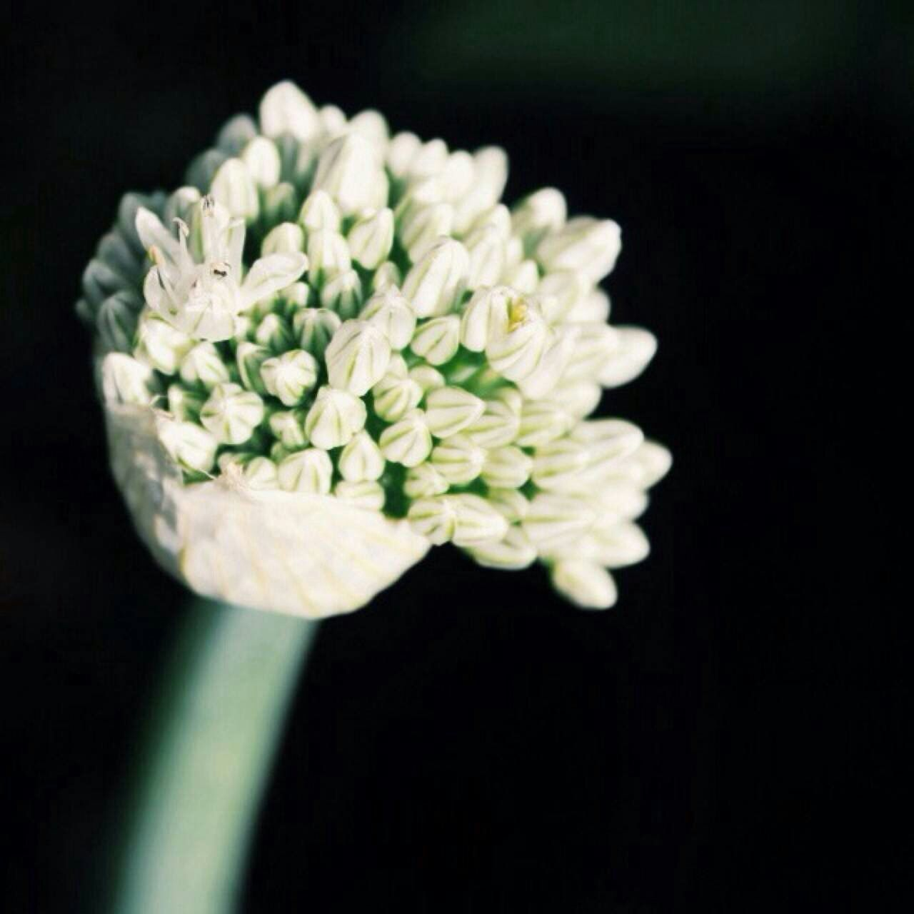 Deceptively Simple Flower Garlic Flower White WhiteCollection White Album Garlic Flower Collection Garlic Flower White Flower Black Background Summer Vegetables Beauty In Nature Close-up Close Up Selective Focus Flowers,Plants & Garden Flowers Flower Head Flowers_collection Garden Garden Photography Gardening Plants