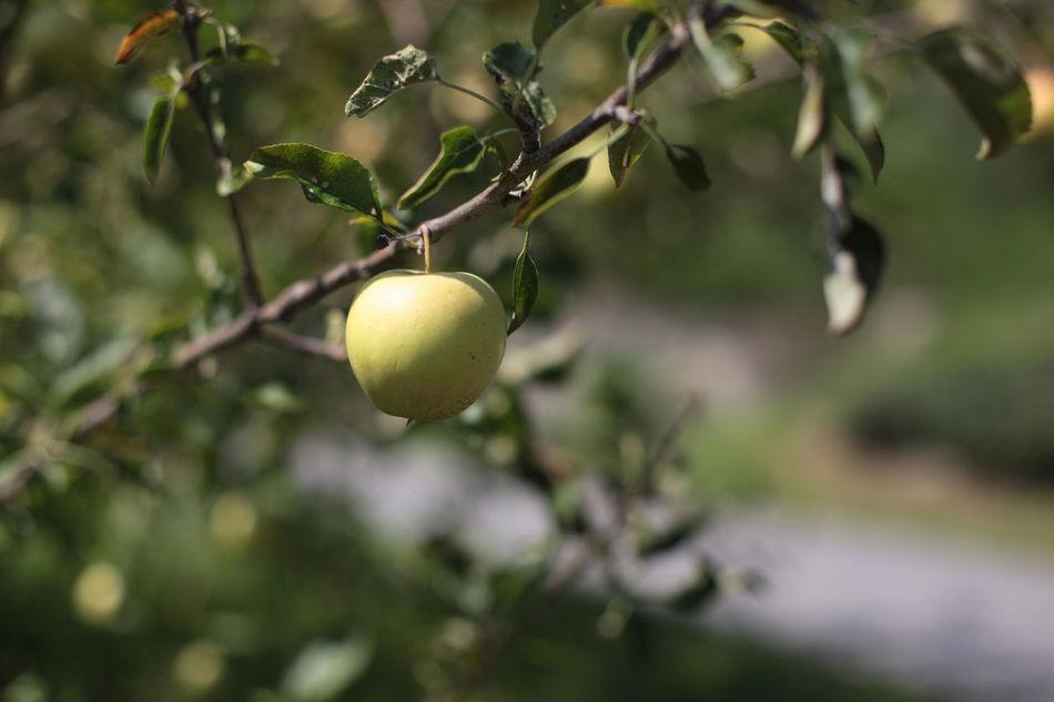 Beautiful stock photos of apple, Abundance, Agriculture, Apple, Apple Tree