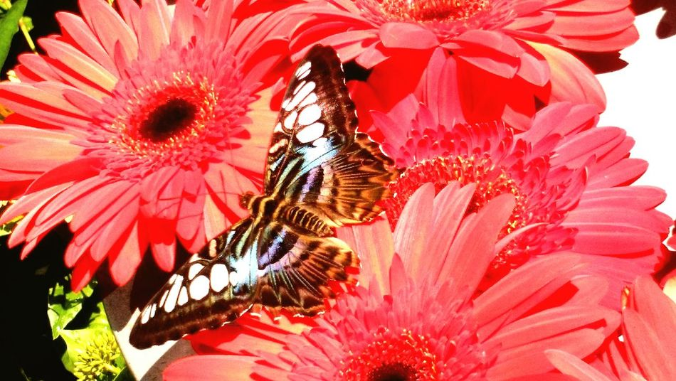 Flower Insect Petal Flower Head Nature Beauty In Nature Red Betterfly