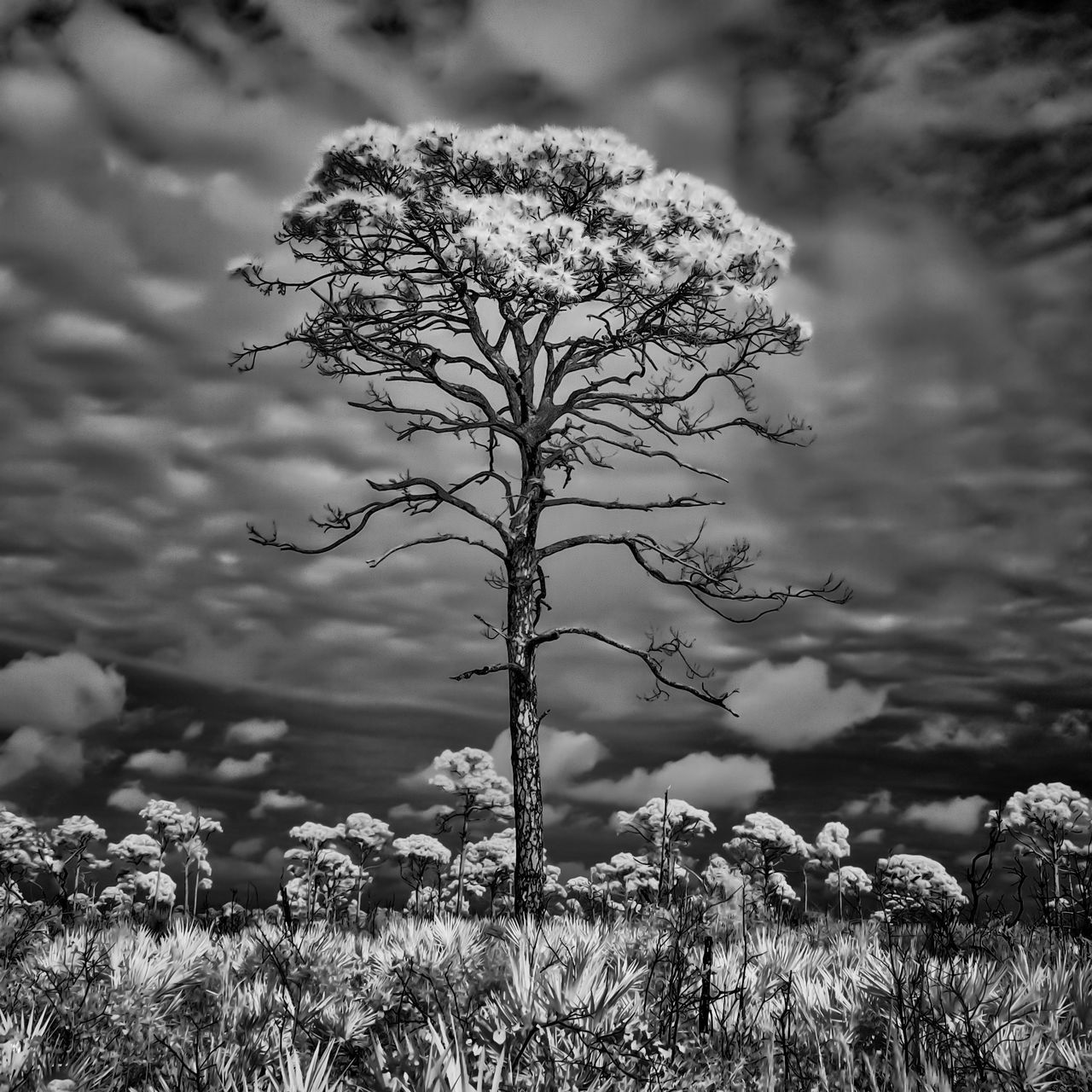 Florida Infrared Photography Jonathan Dickinson State Park Lone Pine Cone Minimimalist Pine Scru Squarecrop Taking Photos Thegreatoutdoors-2016eyeemawards The Great Outdoors - 2016 EyeEm Awards Fine Art Photography