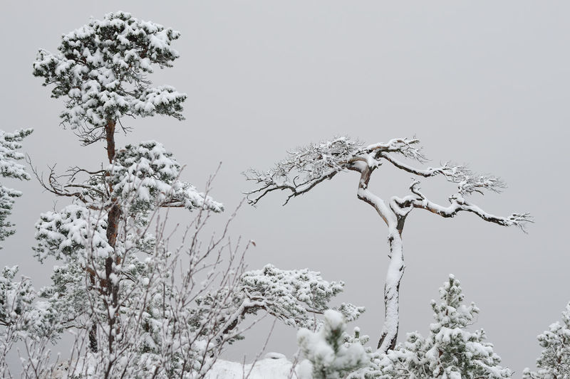 Fog And Trees Bare Tree Beauty In Nature Branch Clear Sky Cold Temperature Day Fog And Snow Landscape Lone Low Angle View Nature No People Outdoors Scenics Sky Snow Tranquility Tree Tree Trunk Winter