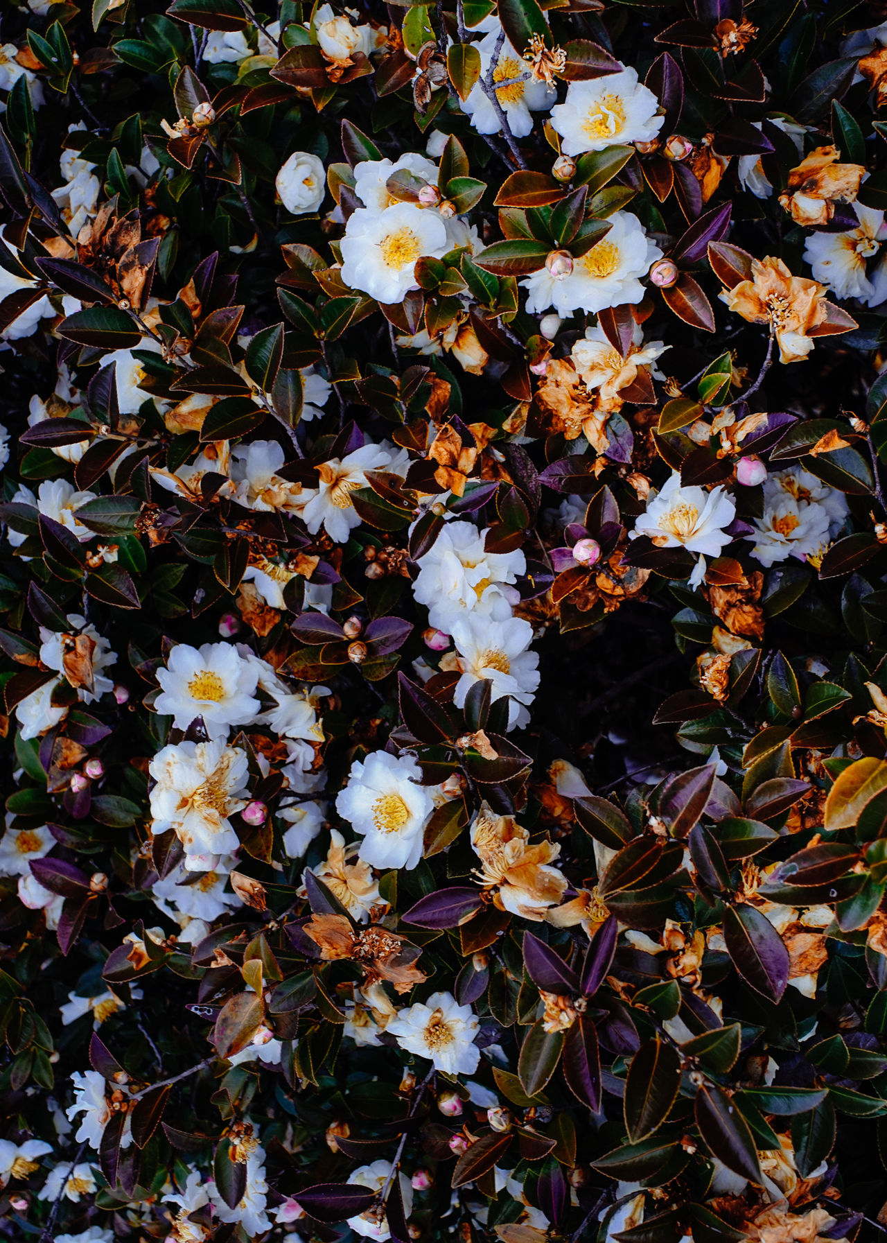 at winter exploration Beauty In Nature Botanical Camellia Camellia Japonica Close-up Decay EyeEm Best Edits EyeEm Nature Lover Flower Head Fragility Japan Leaves Nature Photography Nature_collection No People Outdoors Pattern Plants And Flowers Rot Sasanqua Tranquility Winter