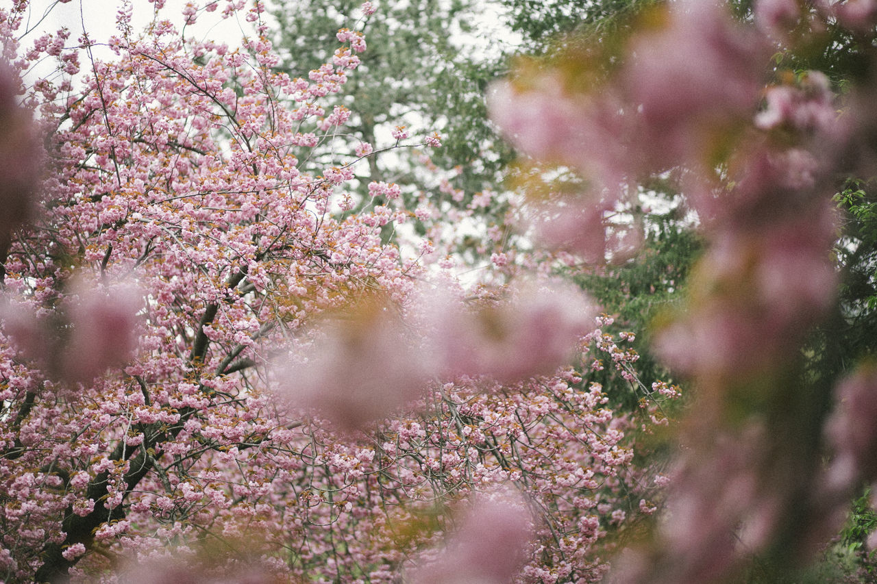 Yes, I got carried away with the cherry blossoms... Beauty In Nature Blossom Branch Central Park Central Park - NYC Cherry Blossoms Close-up Day Film Flower Fragility Freshness Green Growth Manhattan Nature No People NYC Outdoors Pink Pink Color Pink Flowers Shallow Springtime Tree