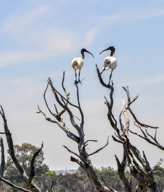 Two large black and white Australian Ibis birds in leafless wetland tree at Lake Coogee in Western Australia. Animals Australia Australian Ibis Avian Bare Tree Beauty In Nature Bird Black And White Couple Fauna Ibis Lake Coogee Large Leafless Low Angle View Nature Outdoors Perching Sky Tranquil Scene Tree Wading Bird Western Australia Wildlife Wildlife & Nature