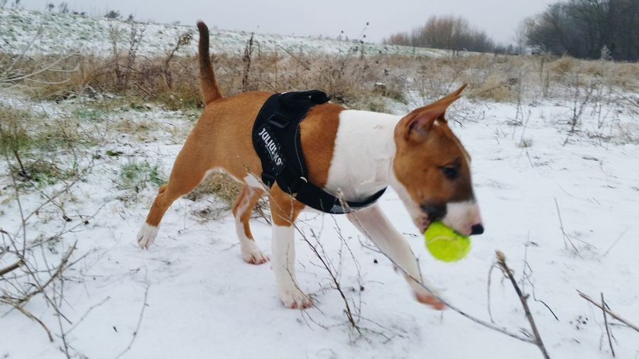 Dog Animal Themes Pets Snow Cold Temperature Winter Domestic Animals Mammal Nature Outdoors Tree No People Day Bullterrierphotography Dogs Of EyeEm Bull Terrier Bullterrier Dogs Animal One Animal