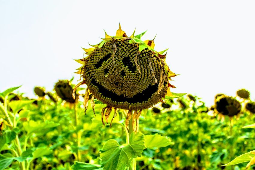 Smile its a sunny flower Plant Nature Growth Flower Outdoors Sunflower Beauty In Nature Flower Head Freshness Smiley Face Sunny Summer