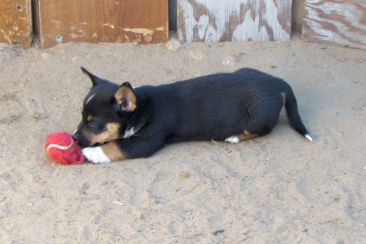 dog, pets, one animal, domestic animals, animal themes, outdoors, lying down, day, no people, mammal, puppy
