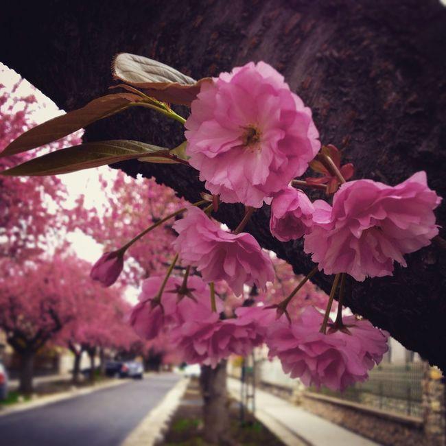 Flower Japanese Cherry Tree. Leaf Nature Pink Pink Flower Road Spring Steetphotography Street Tree