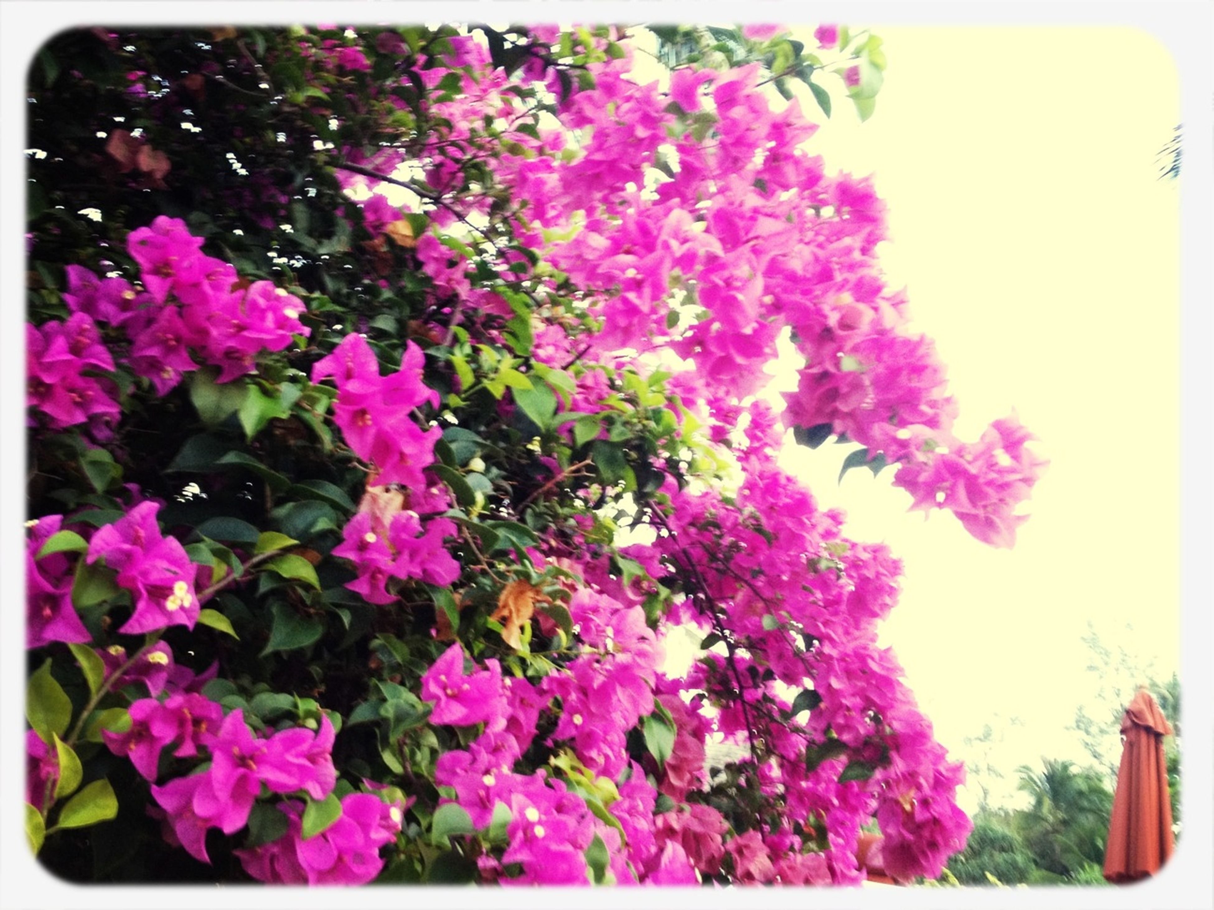 transfer print, flower, auto post production filter, growth, freshness, beauty in nature, fragility, pink color, nature, tree, blooming, plant, petal, in bloom, blossom, outdoors, low angle view, no people, park - man made space, day