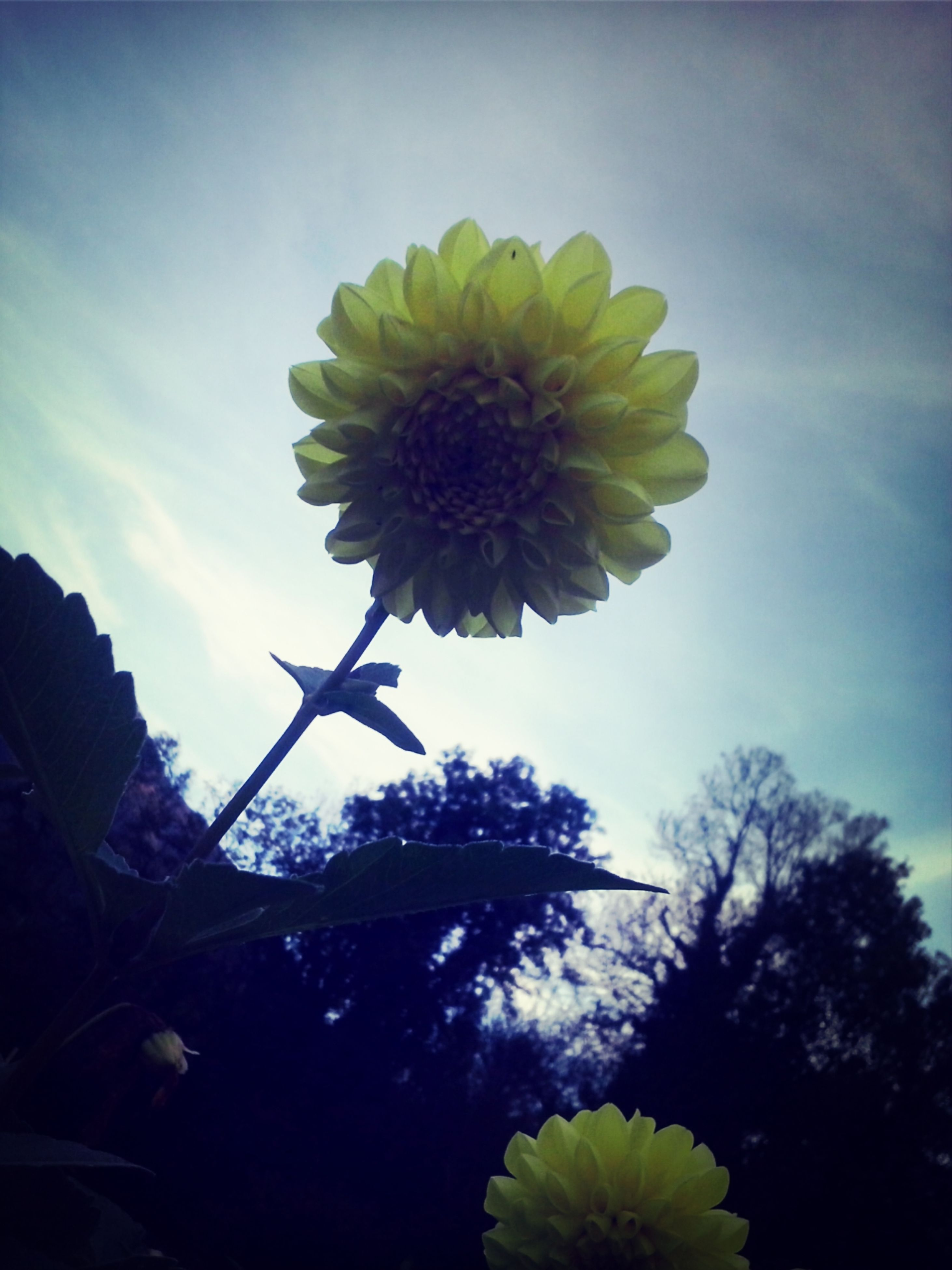 flower, low angle view, growth, sky, freshness, fragility, beauty in nature, petal, nature, yellow, flower head, blooming, plant, single flower, close-up, tree, in bloom, stem, cloud - sky, outdoors
