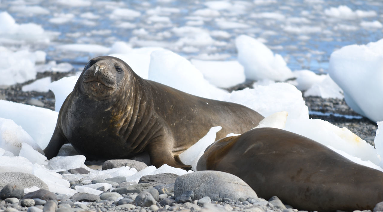animals in the wild, animal wildlife, rock - object, nature, animal themes, no people, one animal, day, seal - animal, winter, aquatic mammal, mammal, outdoors, cold temperature, sea, snow, sea lion, water, full length, beach, beauty in nature, sea life, close-up