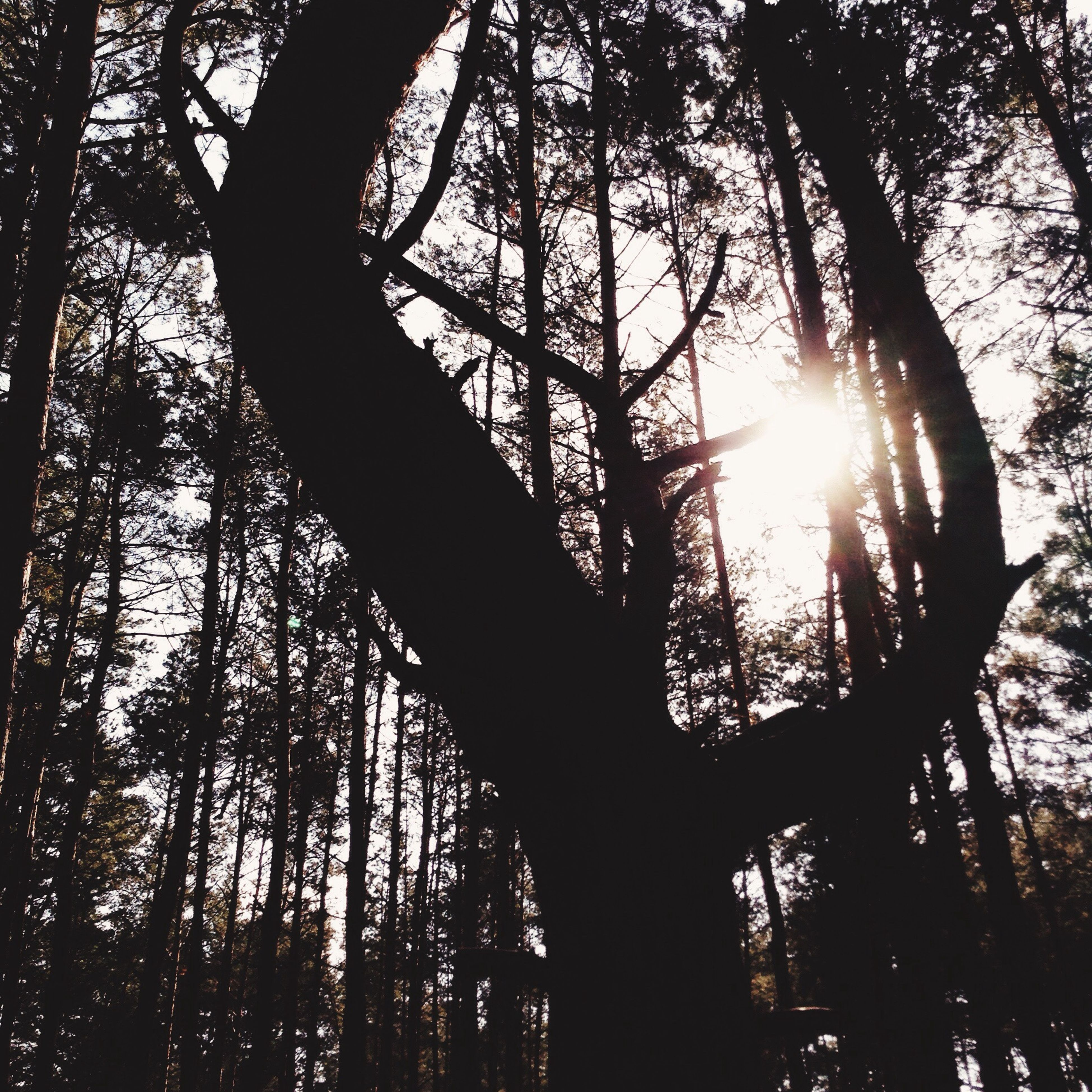 tree, sun, sunbeam, low angle view, sunlight, lens flare, branch, tranquility, tree trunk, growth, nature, silhouette, back lit, beauty in nature, sky, forest, bright, tranquil scene, scenics, streaming