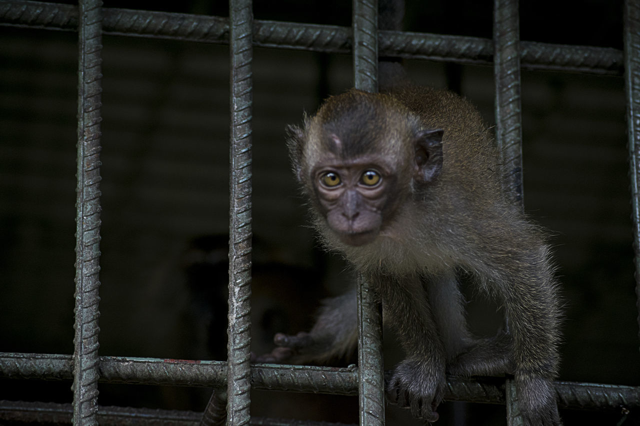 animal themes, monkey, cage, one animal, animals in captivity, animal wildlife, mammal, no people, trapped, focus on foreground, animals in the wild, close-up, looking at camera, portrait, day, nature, indoors