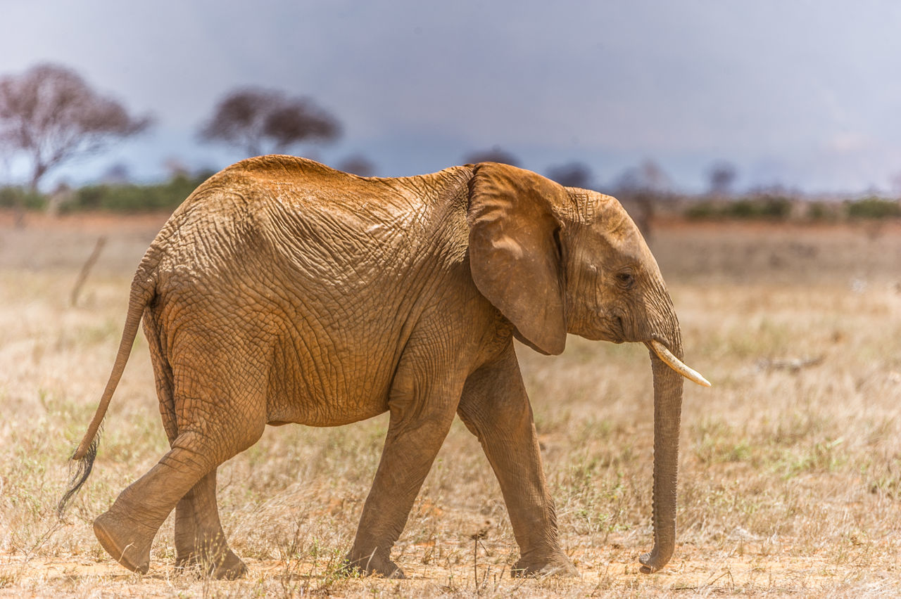 African Elephant Animal Animal Body Part Animal Themes Animal Trunk Animal Wildlife Animals In The Wild Day Elephant Full Length Large Mammal Nature No People One Animal Outdoors Tusk