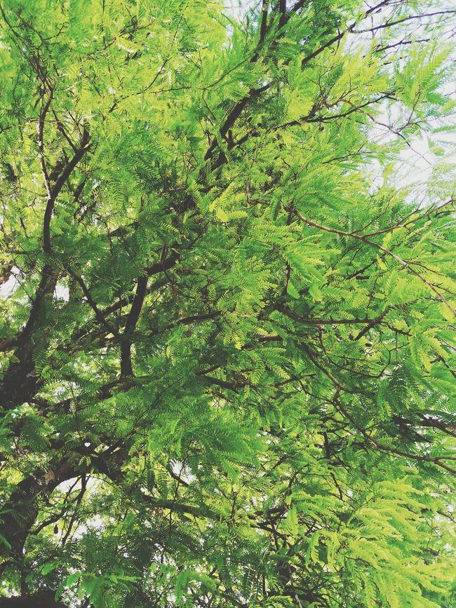 Sampaloc Tree Tree Nature Naturephotography Green Plant Trees Sampaloc Philippines