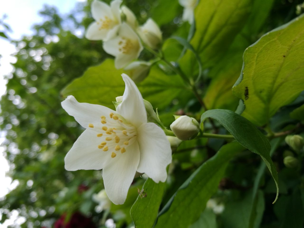 flower, petal, white color, nature, beauty in nature, fragility, freshness, growth, flower head, leaf, close-up, no people, day, outdoors, plant, blooming