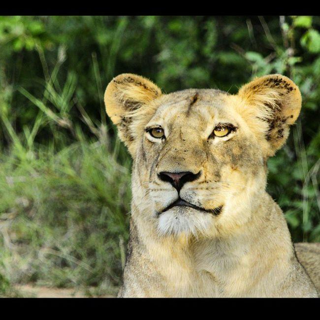 Beautiful Lioness... Lion Savethelion Krugernationalpark Southafrica