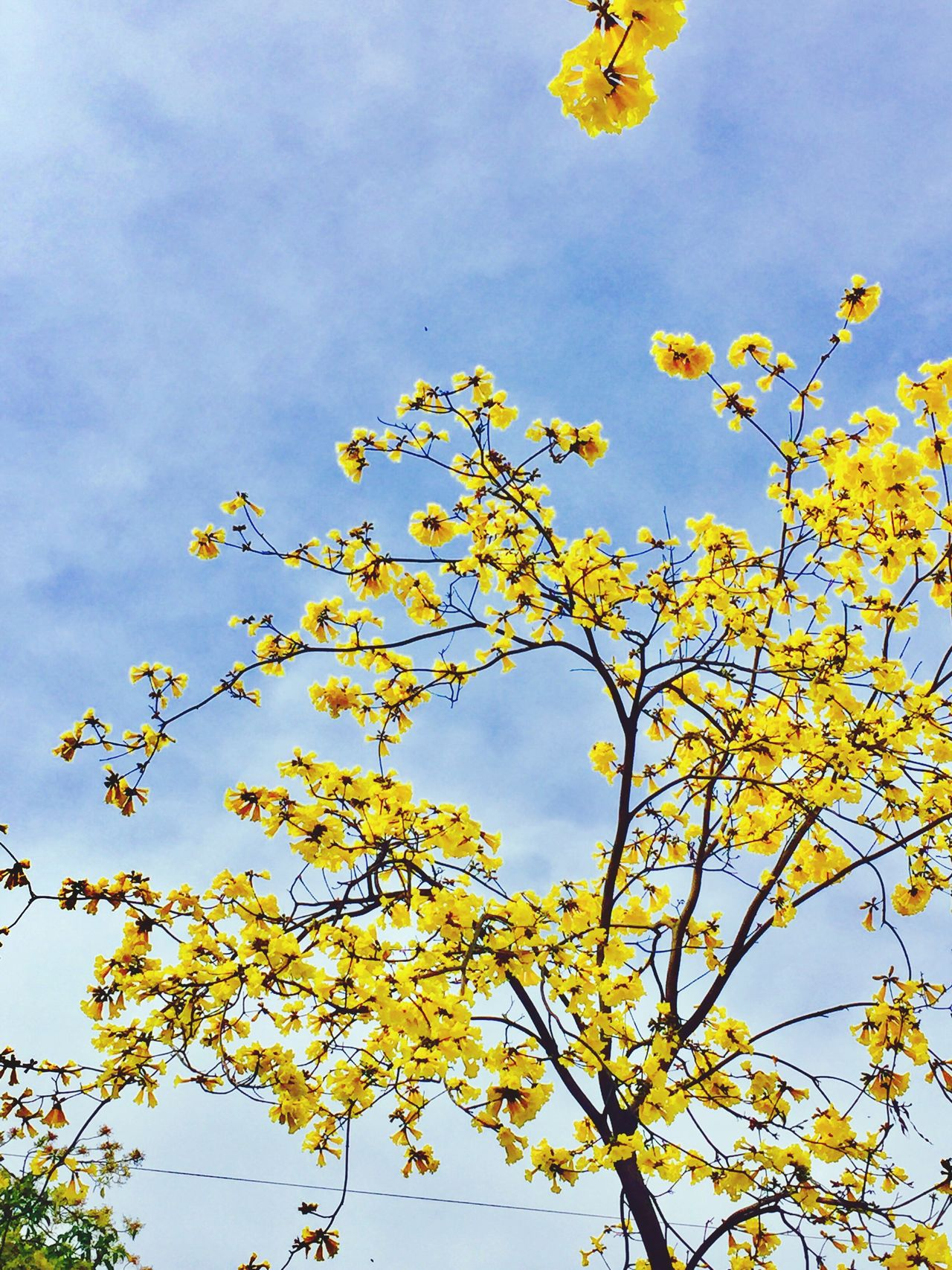Yellow=Spring II Low Angle View Sky Flower Nature Yellow Fragility No People Growth Beauty In Nature Cloud - Sky Blossom Outdoors Tree Day Close-up Branch Freshness Tree Nature In Flowers Flowers Branches And Sky Branches Springtime Spring Flowers Spring