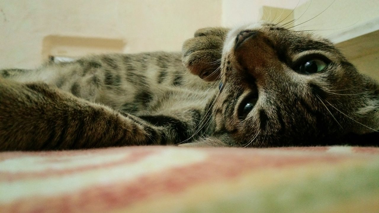 animal themes, one animal, domestic animals, pets, mammal, indoors, domestic cat, relaxation, selective focus, lying down, no people, feline, close-up, day