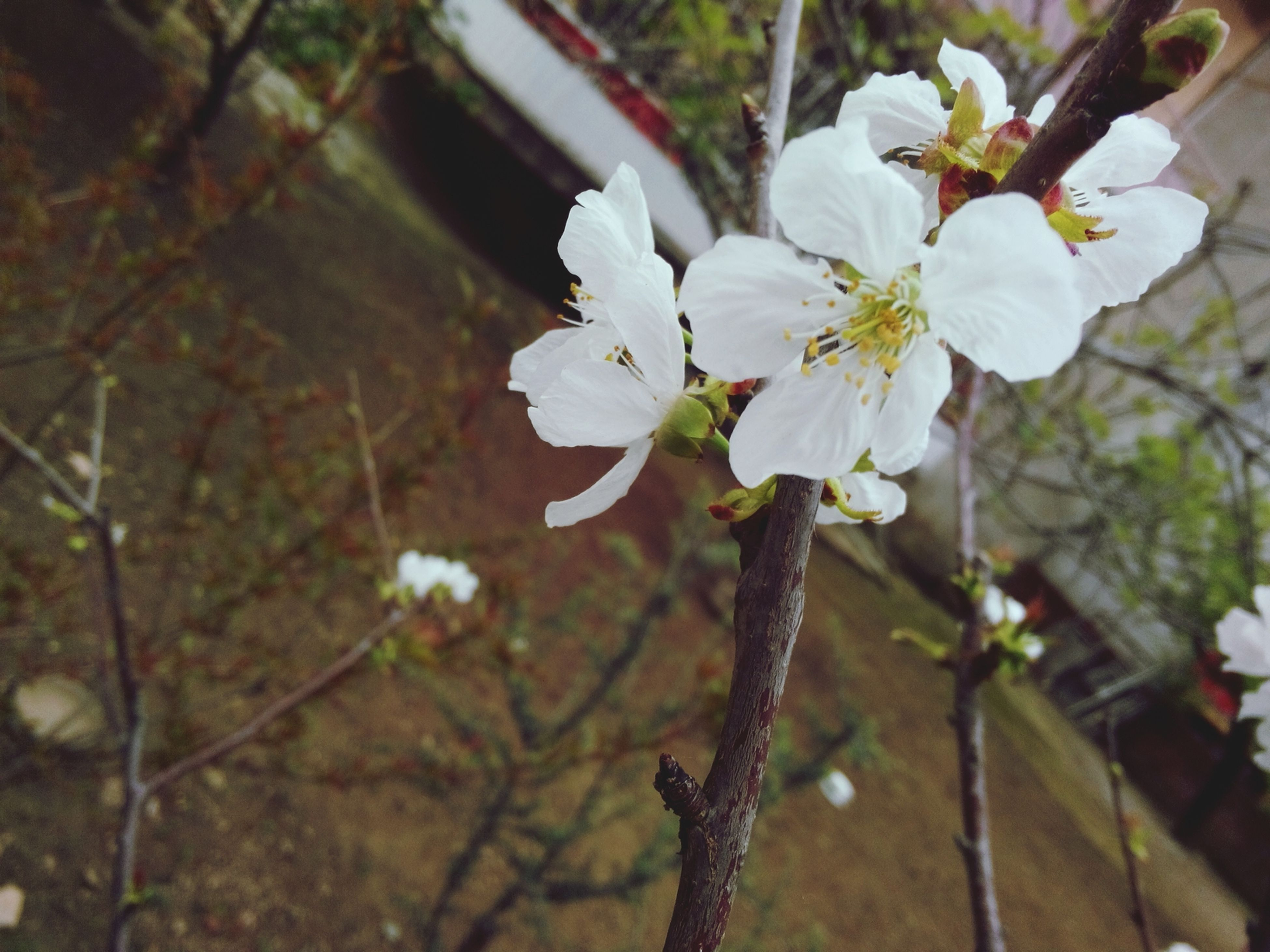 flower, freshness, fragility, petal, growth, focus on foreground, blooming, white color, flower head, tree, beauty in nature, nature, cherry blossom, in bloom, branch, blossom, close-up, day, springtime, outdoors