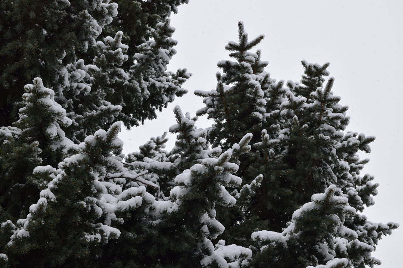 Beauty In Nature Branch Cold Temperature Day Evergreen Growth Low Angle View Nature No People Outdoors Sky Snow Tree