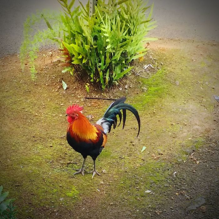 Hawaiian Rooster Animal Portrait Nature Model Nature Rooster Kauai♡ Check This Out Scenery