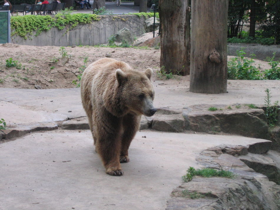Animal Animal Photography Animal Themes Animals Bear Brown Bear Day Outdoors Zoo Zoo Berlin