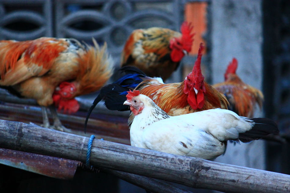 Beautiful stock photos of rooster,  Bamboo - Material,  Bird,  Chicken - Bird,  Close-Up