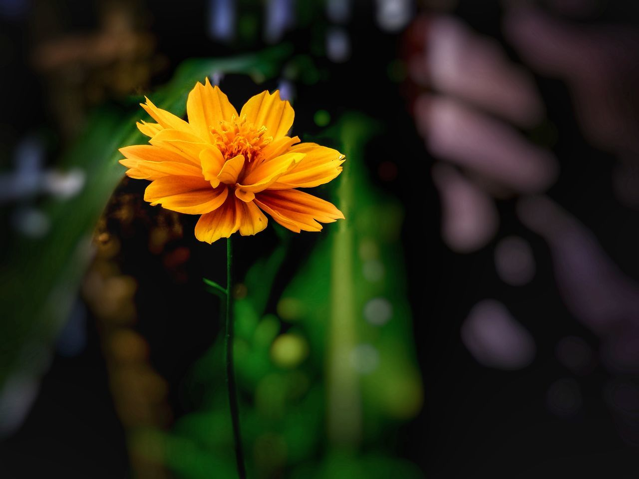 flower, yellow, nature, beauty in nature, growth, petal, plant, fragility, freshness, blooming, flower head, focus on foreground, outdoors, no people, close-up, day