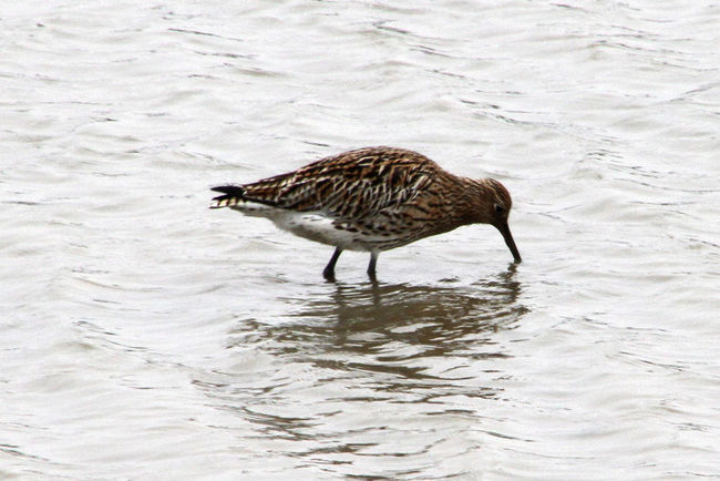 Animal Themes Animals In The Wild Beach Bird Bird Photography Birds Of EyeEm  Day Full Length High Angle View Lake Nature No People One Animal Outdoors Reflection Rippled Sand Sea Swimming Water Waterfront Wildlife Curlew