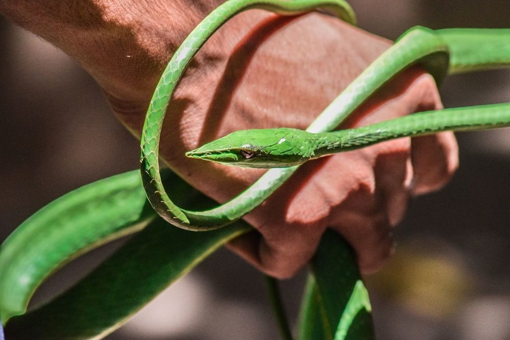 Animals In The Wild Beauty In Nature Green Color Snake Green Vine Animal Wildlife Outdoors