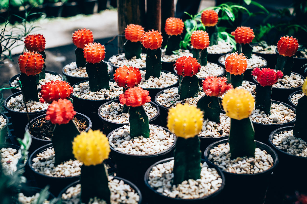 Backyard Beauty In Nature Bunch Of Flowers Business Finance And Industry Cactus Close-up Day Flower Flower Head Fragility Free Radica Freshness Gardening Growth Home Gardening Nature No People Outdoors Plant Potted Plant Red Cactus
