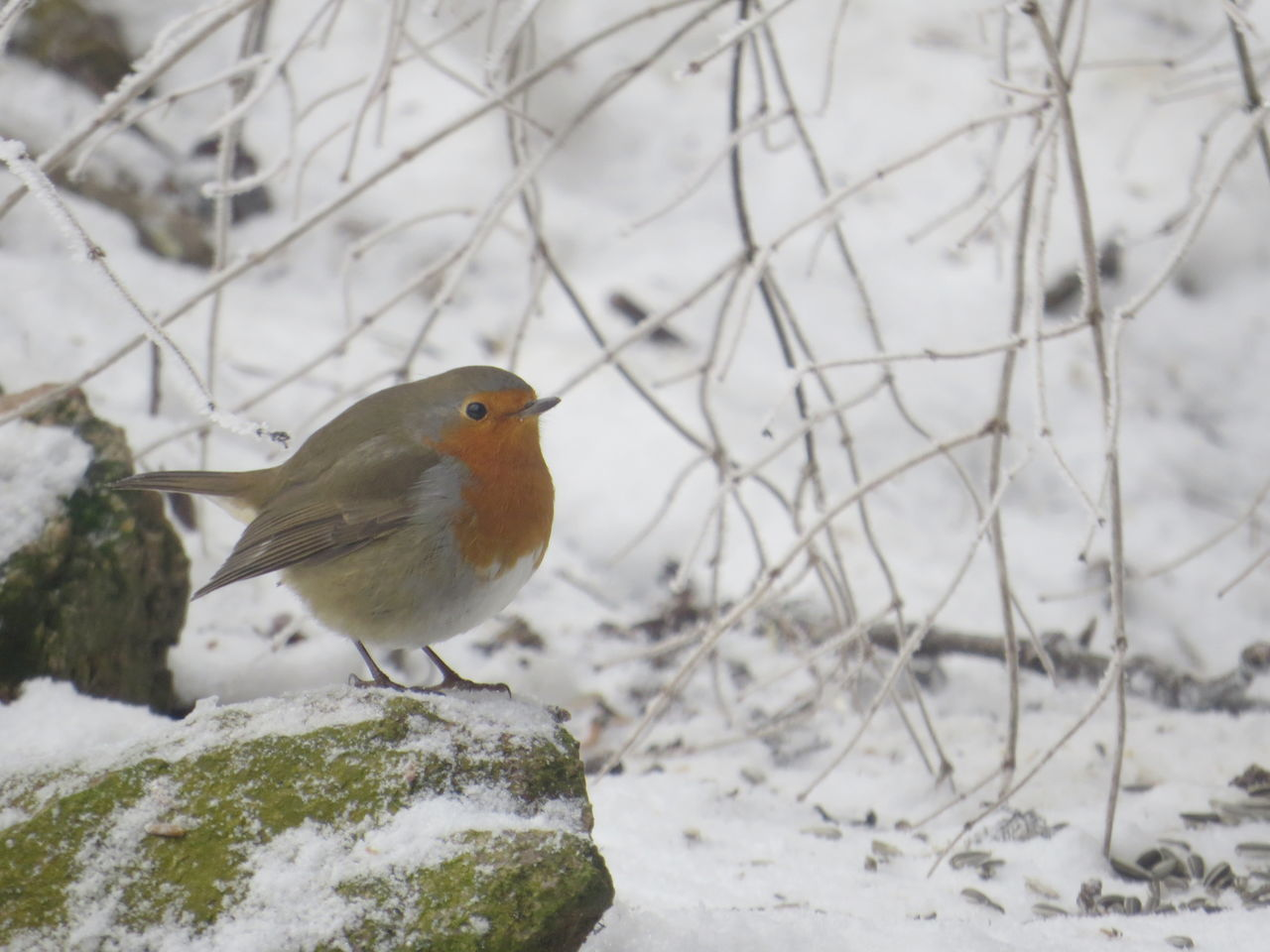 Robin Animal Wildlife Animals Bird Cold Temperature Nature No People Outdoors Perching Robin Snowy Winter Taking Photos From My Point Of View Capture The Moment Animal Themes Snow Animals In The Wild