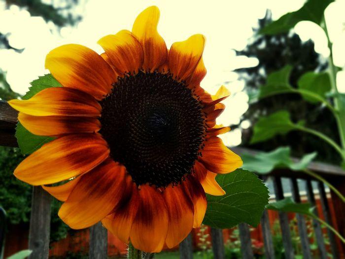 Sunflower Rustic Beauty Yellow Yellow Flower Fire Flowers, Nature And Beauty Flower Photography Flowerlovers First Eyeem Photo