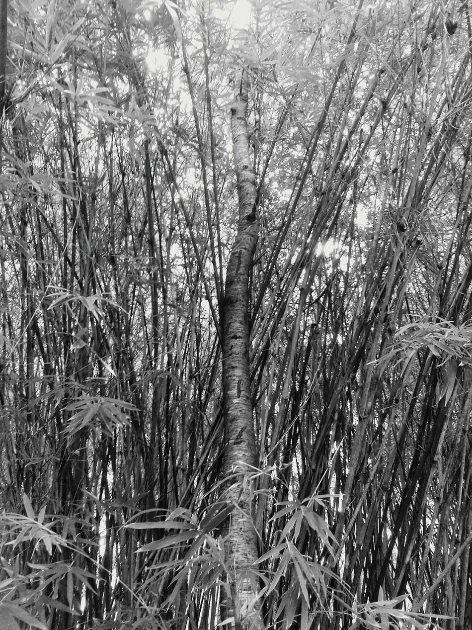Hanging Out Taking Photos Check This Out Relaxing Enjoying Life Playing With Angles Angles Angle Black & White Blackandwhite Black And White Photography Black And White Flowers,Plants & Garden Bamboo Bamboos Bamboo Tree... Bamboo Shoots Lookingup Looking Up Through The Trees