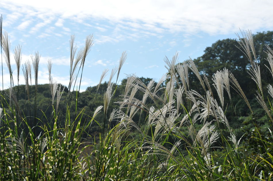 Beauty In Nature Field Nature No People Outdoors Plant Silvergrass Sky