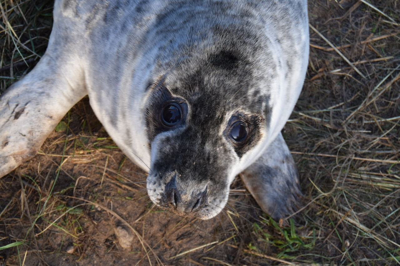 No Filter, No Edit, Just Photography Animal Themes One Animal Animals In The Wild Looking At Camera Mammal Animal Wildlife No People Nature Portrait Grass Outdoors Day Close-up Seal - Animal Beautiful Animal Animal Eye Donna Nook Seal EyeEm Best Shots