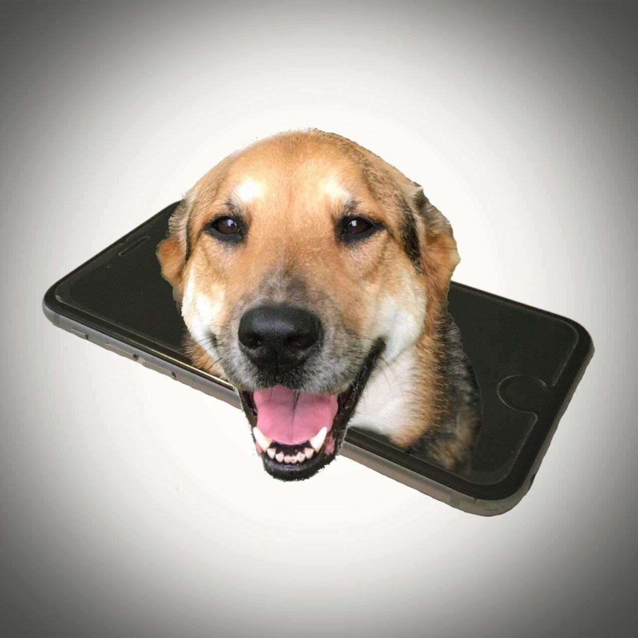 JoJo iPhone portrait #edited #Enlight #iPhone #Iphoneography #JohnGoldenne , #Dog