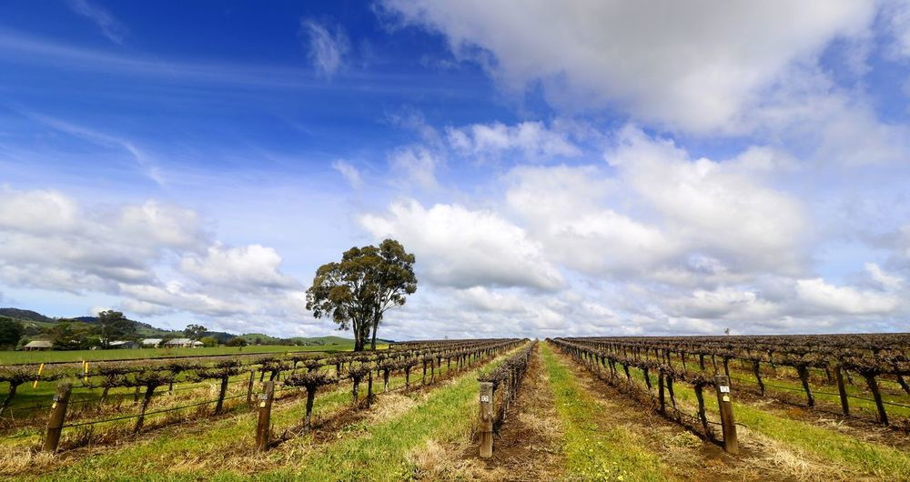 Spring among the vines in the Barossa Valley South Australia Australian Landscape Barossa Valley Travel Photography Vines Agriculture Beauty In Nature Cloud - Sky Day Field Grass Growth Landscape Nature No People Outdoors Rural Scene Scenics Sky Spring Springtime Tranquil Scene Tranquility Tree Vineyard