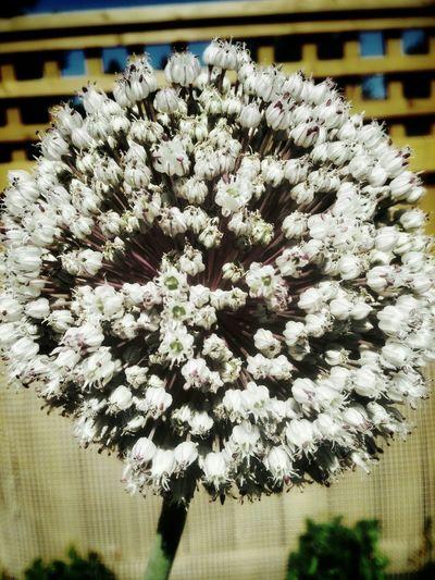 Leeks Flower White Close-up Summer Garden Vegetables Self Sufficient Bloom