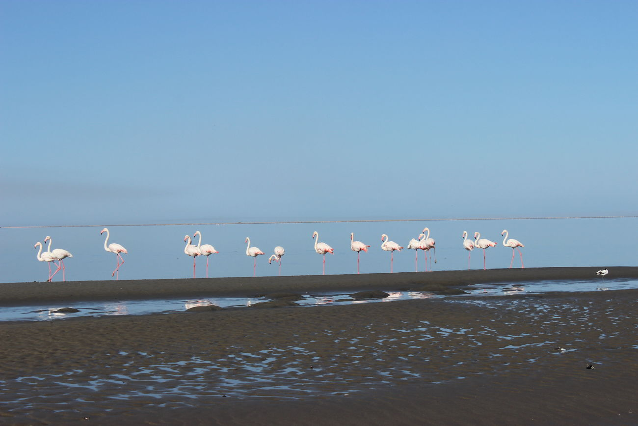 Animals In The Wild Birds On The Beach Flamingo Flamingos Flamingos In Water Walvis Bay Water Birds Wild Animals Wild Animals Close Up
