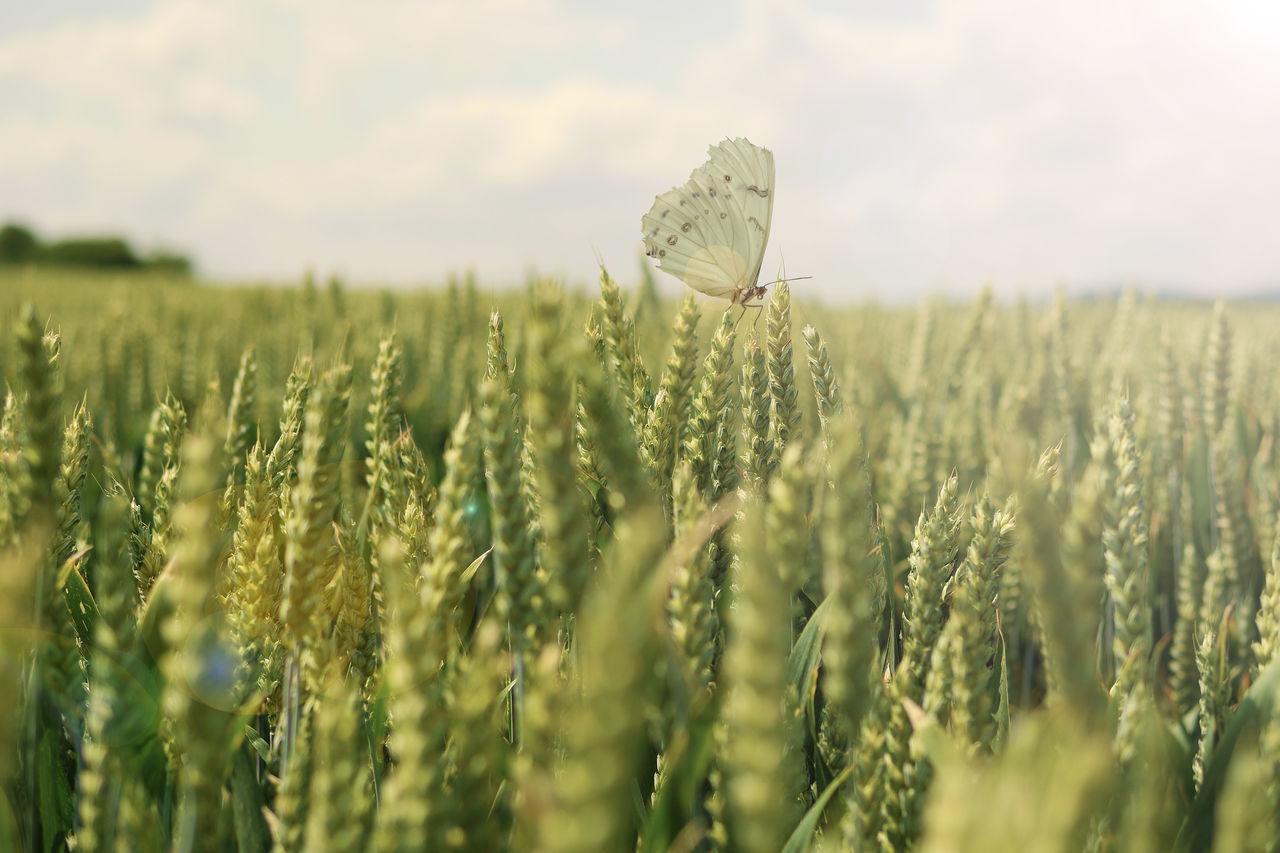Butterfly On Wheat