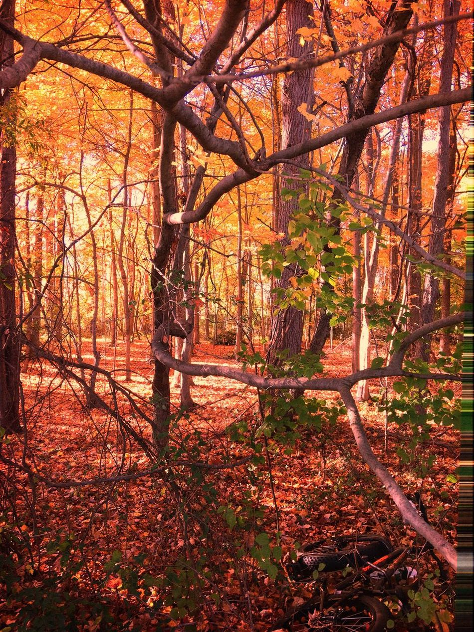 The woods in Fall Tree Nature Forest Autumn Beauty In Nature Tranquility Growth Outdoors Leaf No People Scenics Change Tree Trunk Tranquil Scene Branch Day Woods Orange Color Autumn Tree Relaxedand Happy Taking Pictures Iphonephotography Beauty In Nature