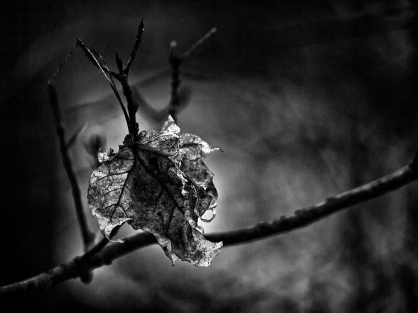 Alone Black And White Blackandwhite Blackandwhite Photography Branch Cold Creative Depth Of Field Depthoffield Dof Endofyear EyeEm Gallery EyeEm Nature Lover Fall Leaf Leafporn Nature Nature Photography No People Old Outdoors Seewhatisee Selective Focus Tree Bnw_society