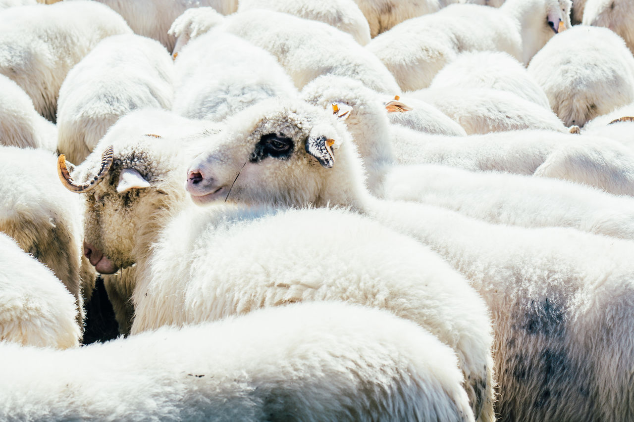 Sheep gathered together in an animal pen. Animals Countryside Farm Flock Flock Of Sheep Outdoors Pen Sheep White White Color