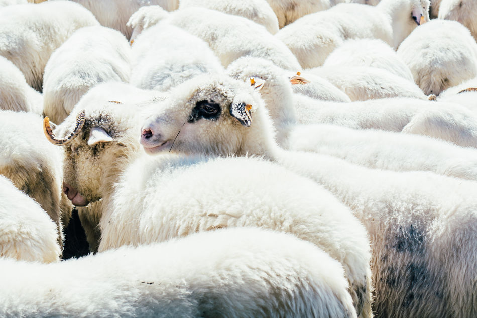 Beautiful stock photos of sheep, Animal Themes, Close-Up, Domestic Animals, Group Of Animals