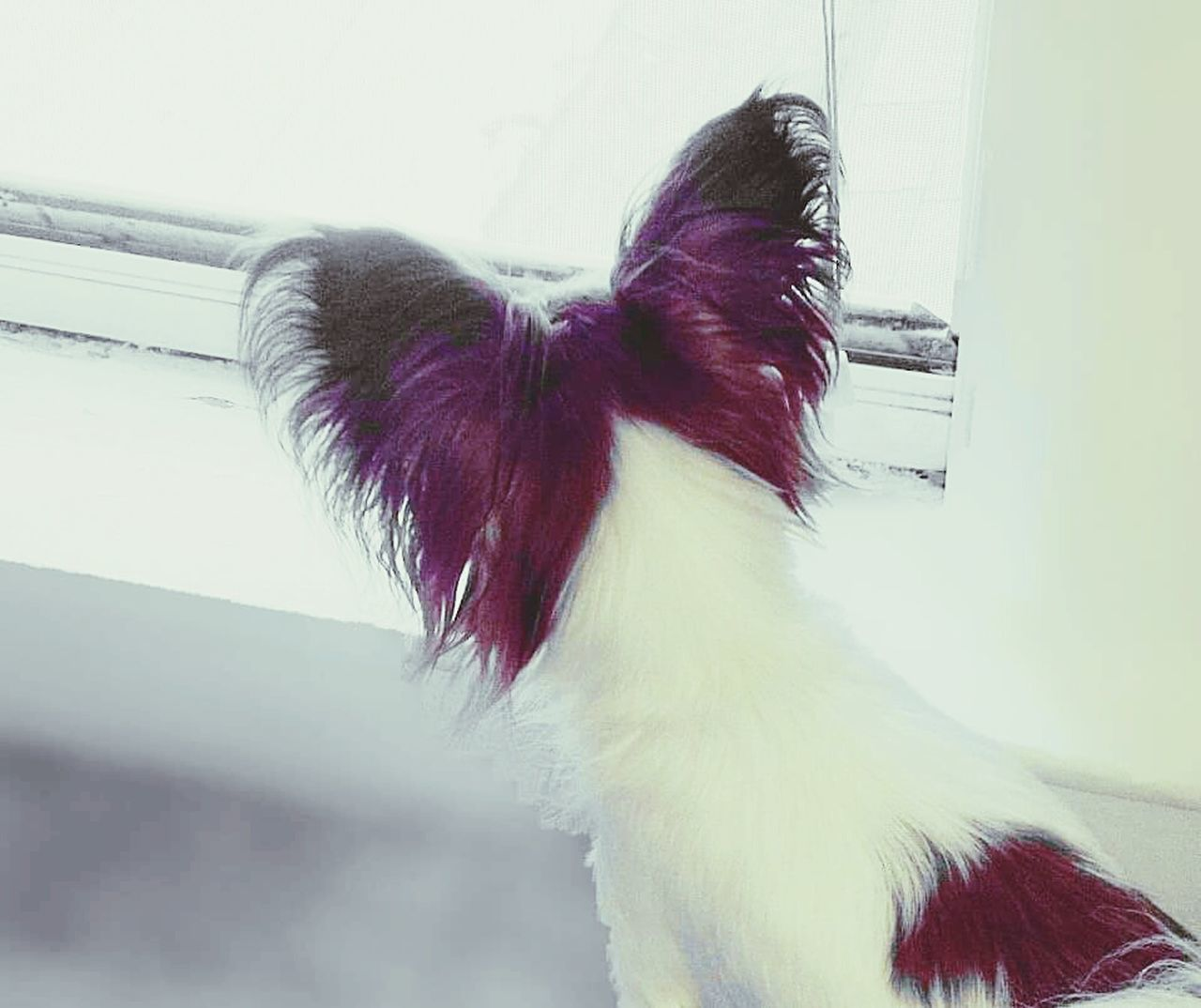 One Animal Domestic Animals Pets Close-up Indoors  Animal Themes My Photography EyeEm Best Shots Eyeem Photography EyeEm Animal Lover Papillondog Papillion, Dog, Cute, Precious, Furry Day Dogoftheday Dogslife Dog Of The Day Dog Photography Dogs_of_instagram EyeEm The Best Shots Ilovemydog Eyeemphoto EyeEmbestshots Waiting For You Papillon Adapted To The City