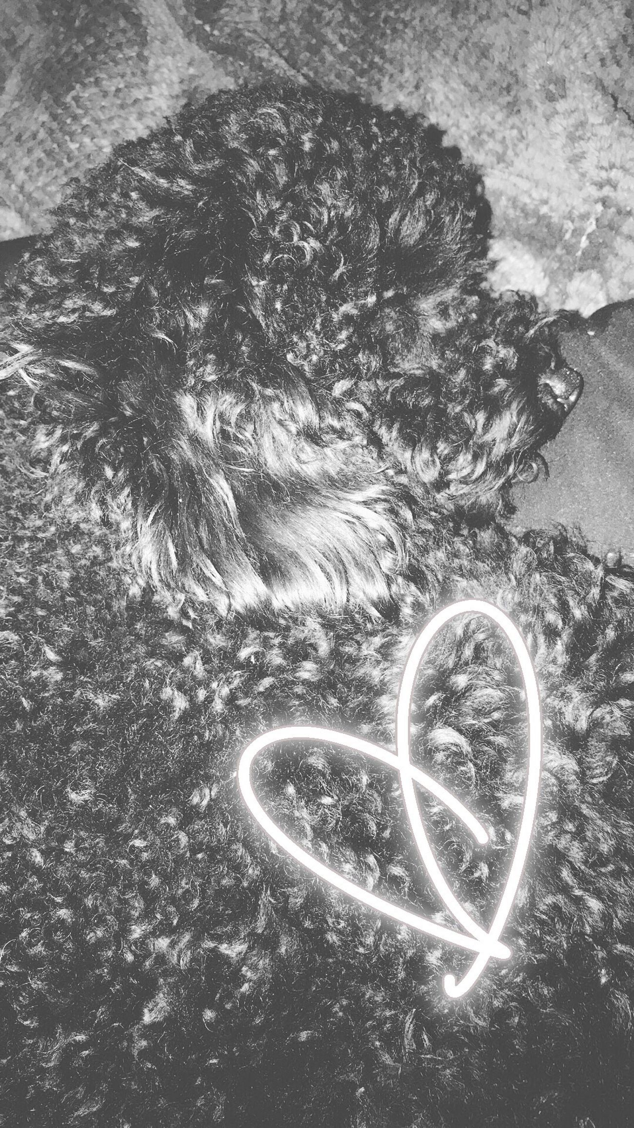 Love Heart Shape No People Indoors  Close-up Nature Day Poodle Toypoodle Love Puppy Cute EyeEm Best Shots Like