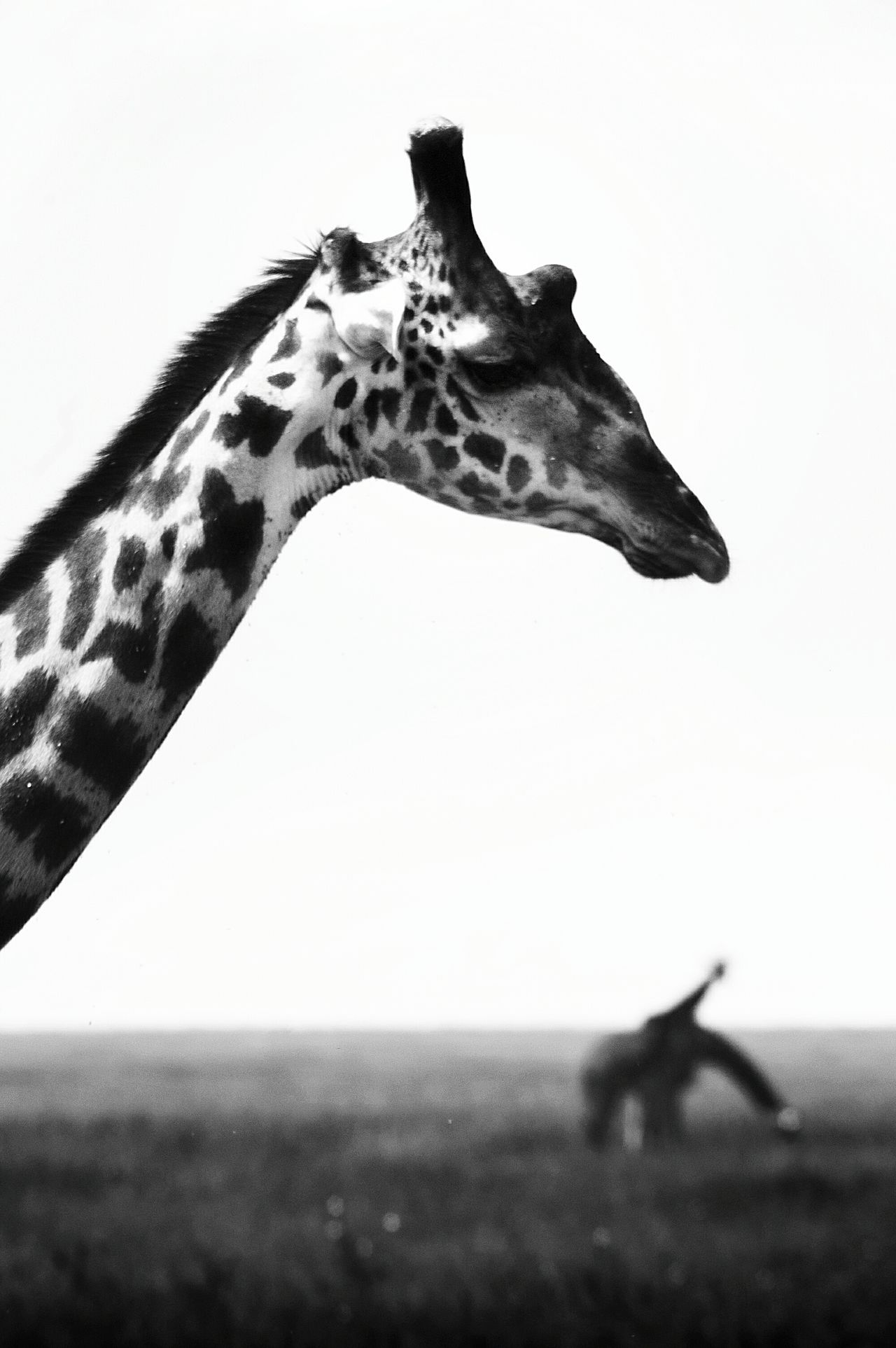 Giraffe Animal One Animal No People Mammal Nature Animal Themes Day Animal Wildlife Animals In The Wild Safari Animals Tanzania Serengeti National Park Nature Beauty In Nature Animal Markings Portrait Portrait Photography